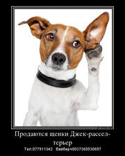 Продаются щенки  Джек рассел терьер!