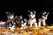 Продаются щенки породы Сибирский Хаски