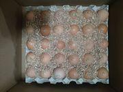 Инкубационные яйца Бройлеров КОББ 500 Венгрия