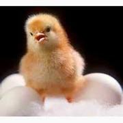 Инкубационные яйца птицы разных пород с Европы