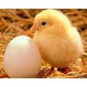 Инкубационные яйца разных пород птиц с Европы и Украины