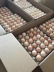 Инкубационные яйца бройлеров и др с Европы и Украины