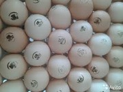 Яйца инкубационные бройлера и других пород с Европы и Украины