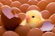 Инкубационные яйца бройлера КОББ несушки уток индюков с Европы Украины