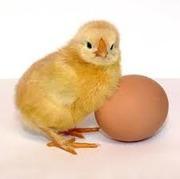 Инкубационные яйца Бройлера Импортное