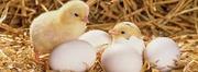 Инкубационные яйца оптом и в розницу