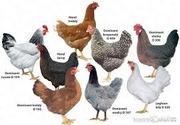 Инкубационное яйцо птицы из Европы