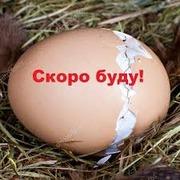 Инкубационное яйцо бройлеров,  кур несушек и других пород птицы
