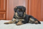 щенок немецкой овчарки от клубной вязки.
